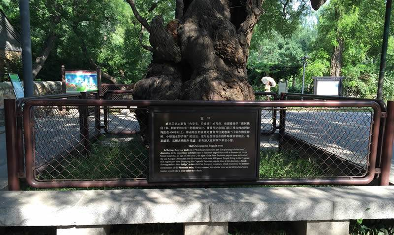 In beijing botanical garden, a four-hundred-years-old locust tree, trunk diameter up to one meter, lush foliage, is protected by brown vinyl chain link fence with strong frames and posts.