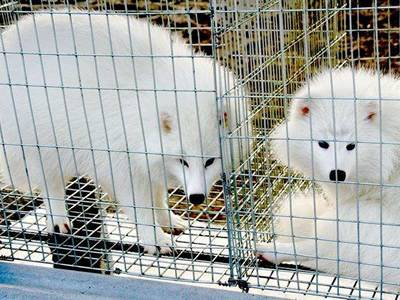 Two white adult foxes are in the galvanised welded wire mesh panel cages, one is standing and another is laying.