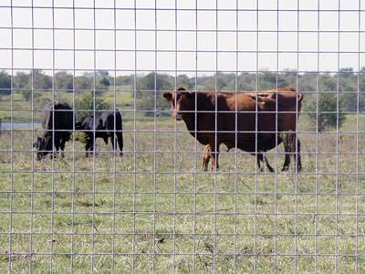 Three cattle are locked in the area by welded wire cattle fence.