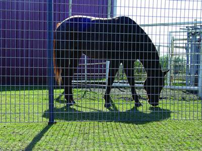 A horse in the pen made of welded wire horse fence.